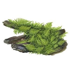 2.Vesicularia dubyana Christmas Moss