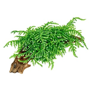 6.Vesicularia Ferriei