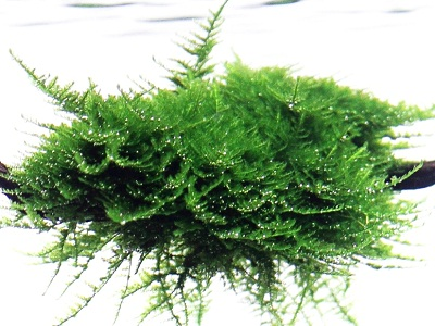 A.2 Plante de acvariu